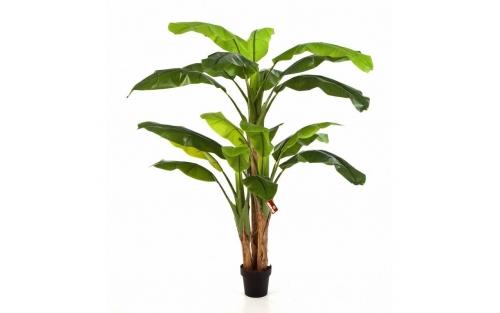 Banana Tree 300cm