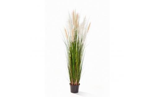Reed Grass 180cm