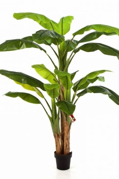 Banana Tree 240cm