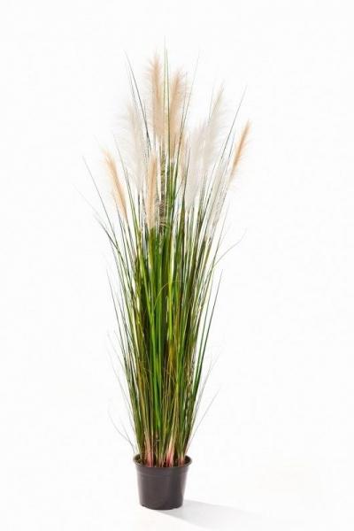 Reed Grass 150cm