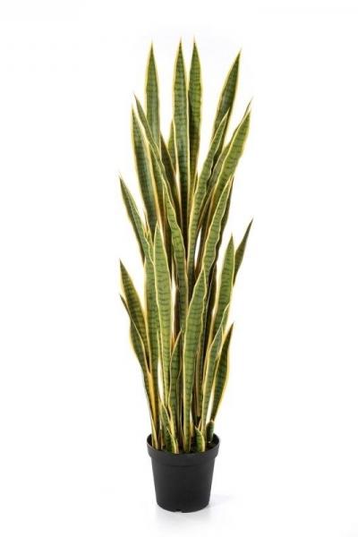 Sanseveria 120cm