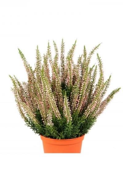 Erica Plant 35cm